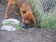 Redbone Coonhound, 7 months, Red